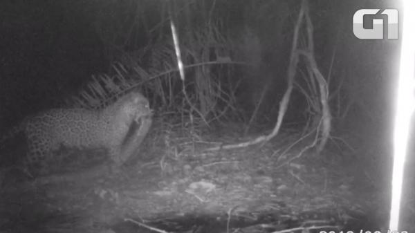 Onça carrega sucuri viva na boca em pousada no Pantanal de MT; veja vídeo