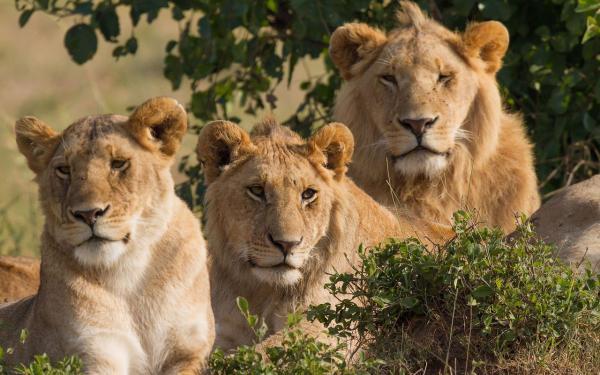 Leões devoram caçadores de rinocerontes em reserva na África do Sul