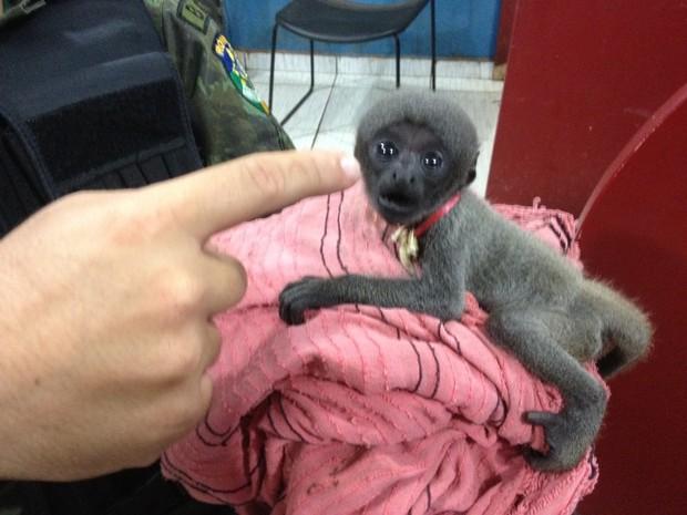 Macaco em extinção é achado acorrentado dentro de casa, em RO