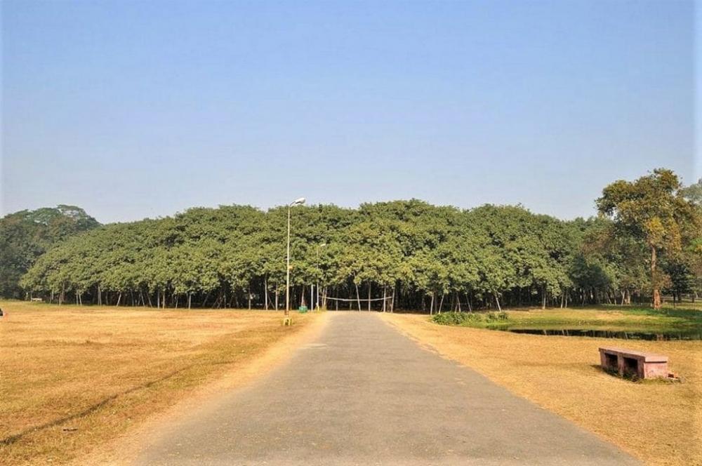 A árvore mais larga do mundo que mais parece uma floresta inteira