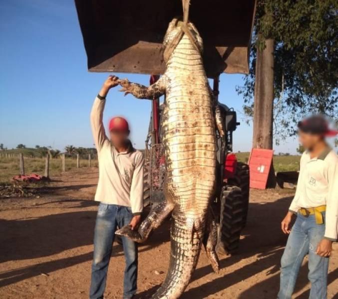 Jacaré gigante é capturado em fazenda próxima ao rio Guaporé, em Cabixi, e exibido em grupos no WhatsApp