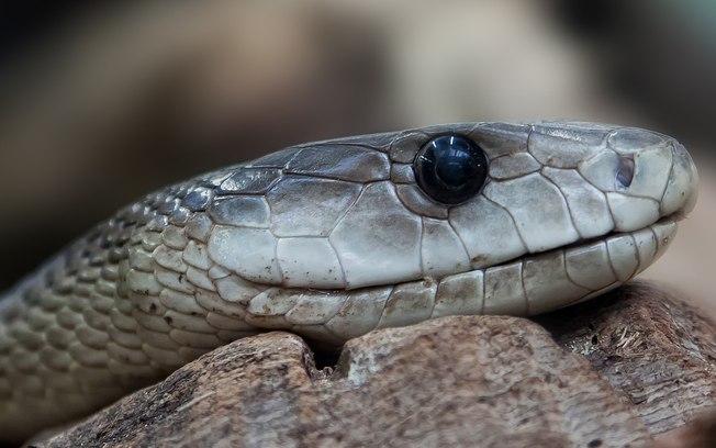 Homem encontra cobra venenosa em casa e animal tem 35 filhotes; confira