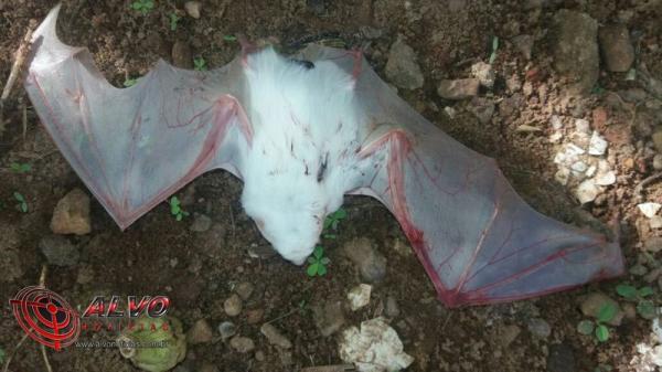 Alvorada do Oeste – Morcego albino raro é encontrado em distrito