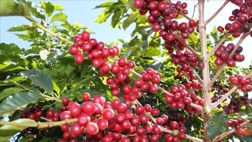 Rondônia estima faturar R$ 968 milhões com a safra de café deste ano