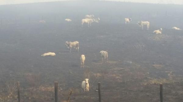 Incêndio atinge fazendas e mata centenas de cabeças de gado; veja vídeo